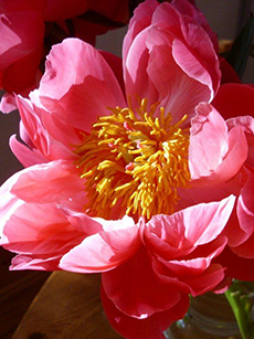 photo: flower – peonie